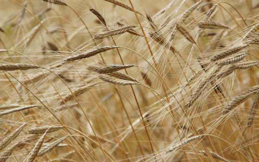 Why You Should Be Using Einkorn Wheat (and Why Gluten Isn't Always the Issue)